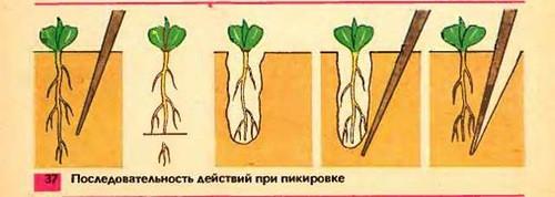 Пикировка — это укорачивание стержневого корешка, необходимое для того, чтобы вся корневая система ветвилась и активно развивалась