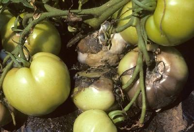 Главные вредители, поражающие плоды: микроскопические грибки, вирусы, бактерии