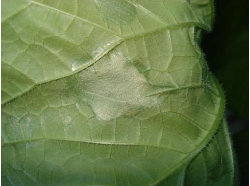 Пораженные листики уже не получится вернуть, но еще можно сохранить остальную листву, стебель и плоды