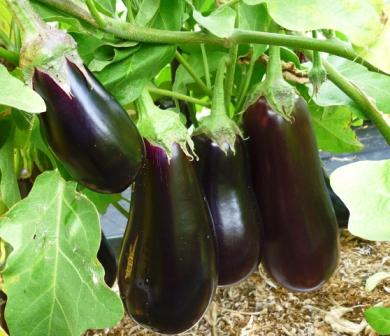 В наших широтах данная овощная культура выращивается, как правило, в теплицах