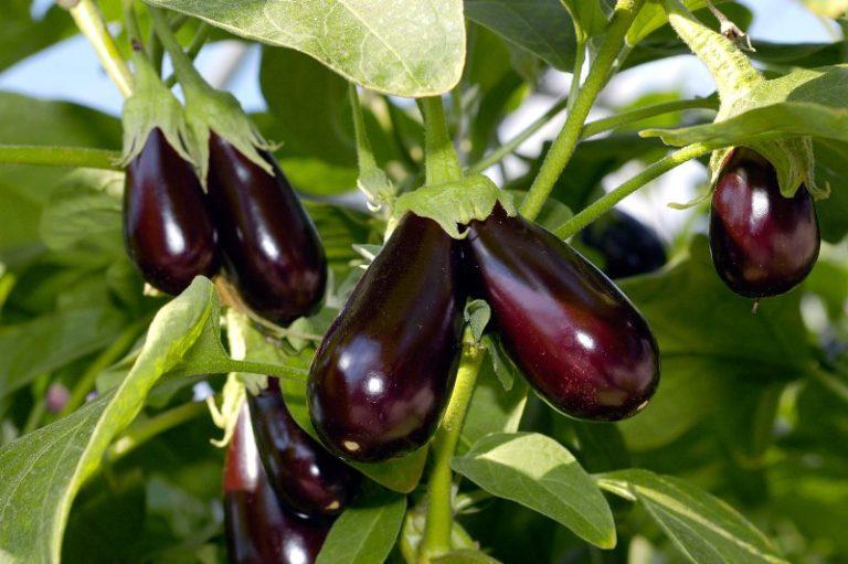 Это растение чрезмерно прихотливо к плодородности и аэропроницаемости почвы, к условиям освещения, влажности грунта и воздуха