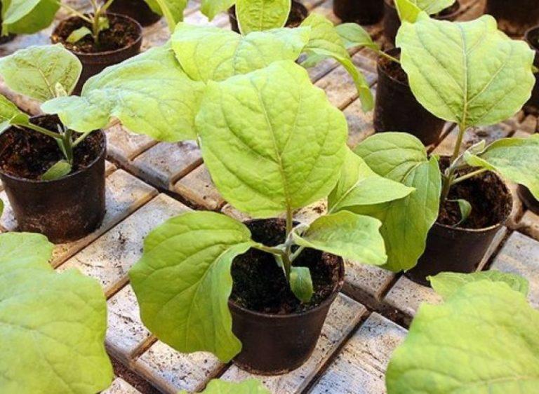 После посадки рассады баклажанов в теплицу или парник, поливать ростки необходимо с интервалом в 2 дня
