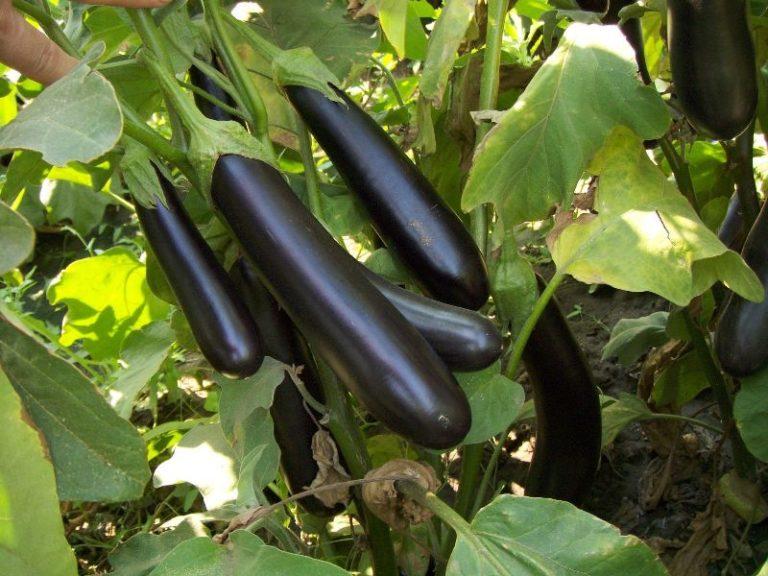 В теплице, в которой выращивают овощ, следует выдерживать влажность воздуха не более 70%