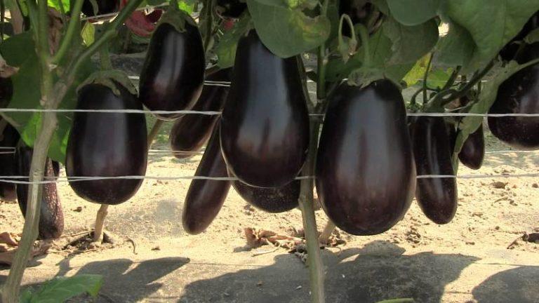 Когда начинается плодоношение культуры, полив проводят 2 раза в неделю