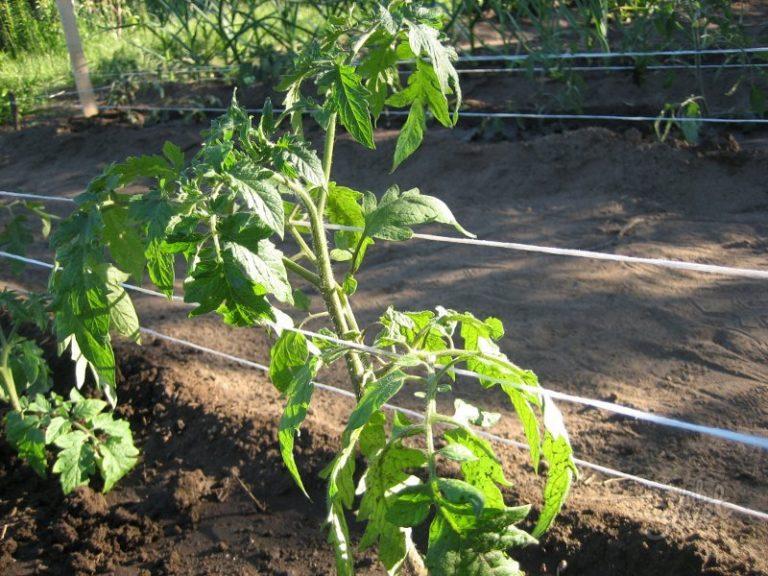 Тщательно подвязанные грядки облегчают уход за растениями