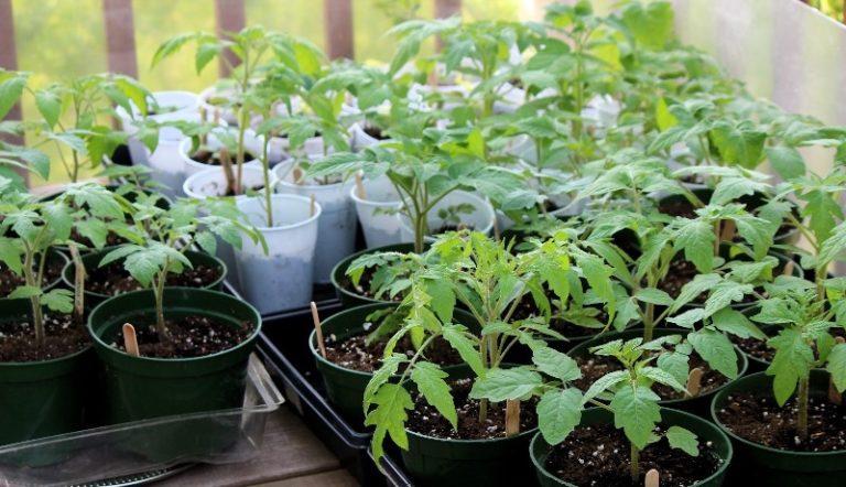Переизбыток азота опасен, в частности, тем, что растение слишком активно идет в рост, а завязи не образует