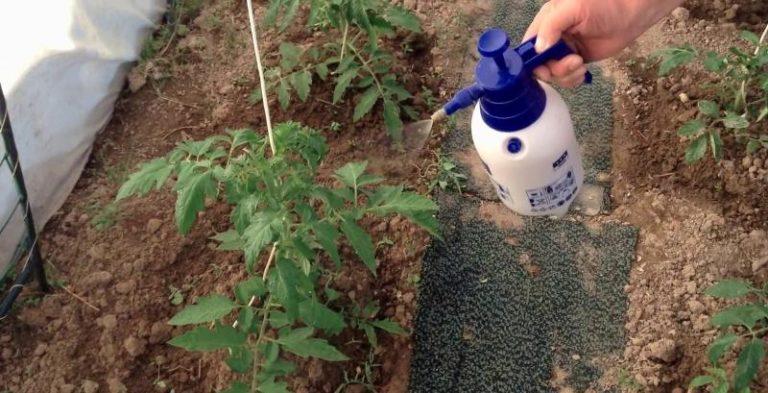Минаева начинает основной уход за растениями после высадки их в теплицу или открытый грунт