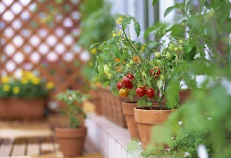 Из любой городской квартиры можно сделать подобие оранжереи, но удобнее высаживать помидоры на окне лоджии