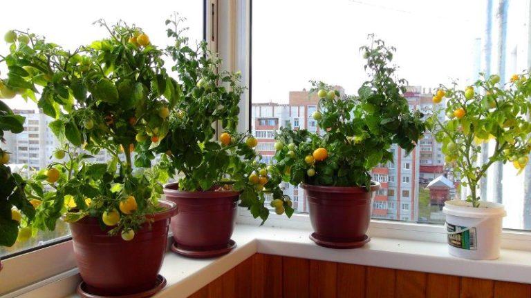 При выращивании помидоров на окне в городской квартире зимой необходимо обеспечить растениям достаточную продолжительность светового дня