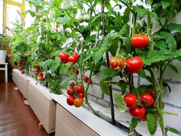 Непременно интересуйтесь, как выращивать помидоры именно выбранного вами сорта