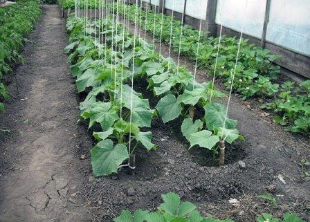 Подвязывание огурцов помогает избежать огромной потери урожая