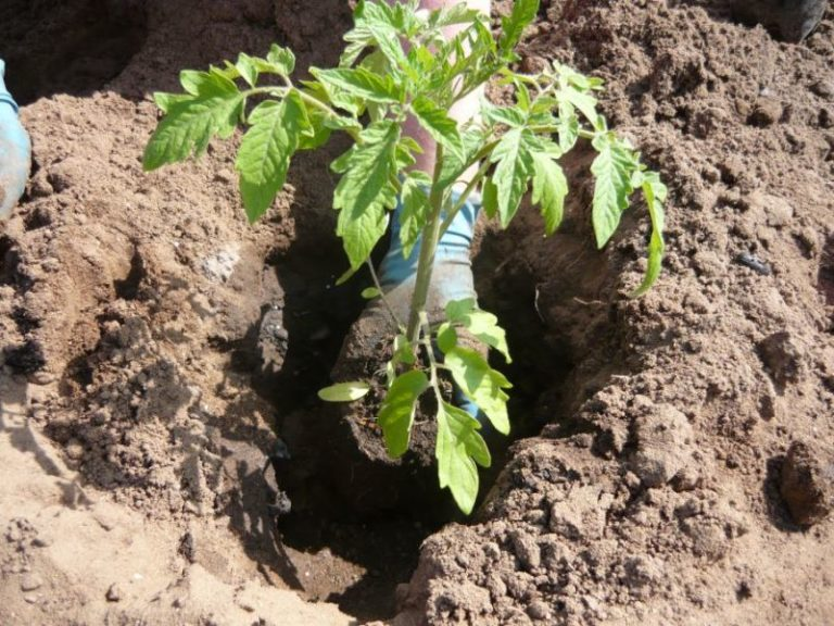 Помидор нуждается в фосфоре. Полноценное обеспечение томата этим элементом способствует образованию хороших завязей