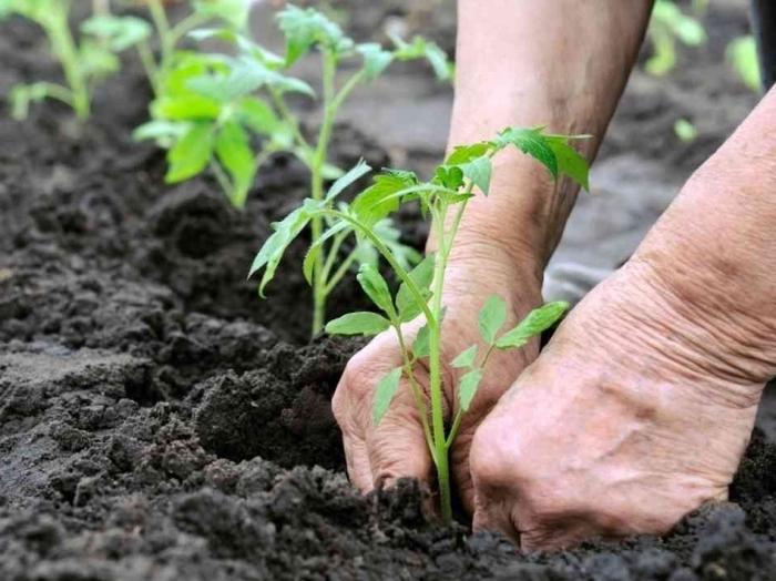 Если при подготовке почвы в осенний или весенний период минеральные удобрения не использовались, необходимо подкормить томаты после высадки в грунт несколько раз в течение вегетации кустов