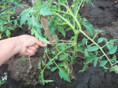 Подрастающие кусты не всегда могут удерживать вес томатов, поэтому важно вовремя подвязать растение