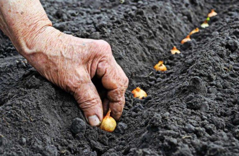 Для подзимних посевов устраивают грядки под различные корнеплоды, зелень, луковые и листовые овощи