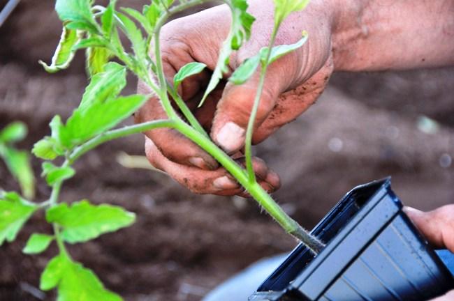 Для рассады томатов можно применять и смеси, приготовленные самостоятельно