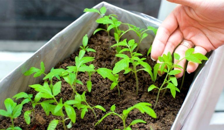 Если же вы заметили, что у растений чрезмерно вытянуты стебли, то используйте суперфосфат