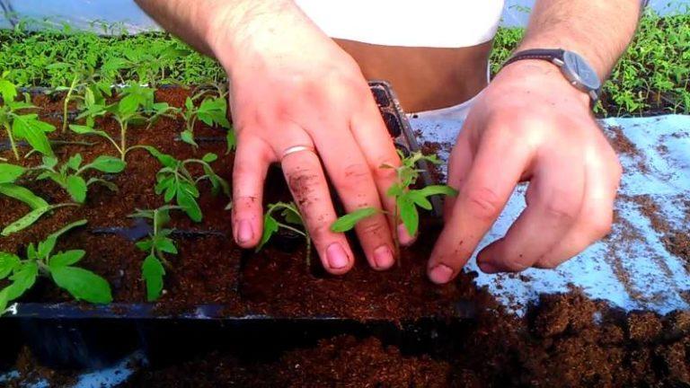 Выбор удобрений остается за самим огородником, однако следует иметь в виду, что молодые растения нуждаются в азоте, фосфоре и калии