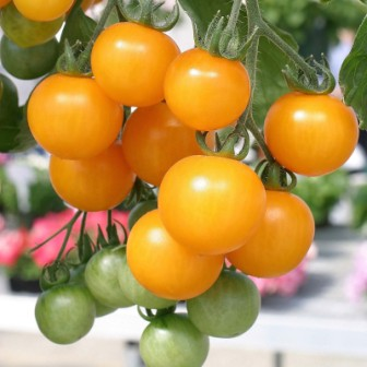 Желтые помидоры — популярные сорта