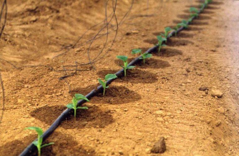 Развитие кустов и урожайность культуры во многом зависит от правильности полива огурцов