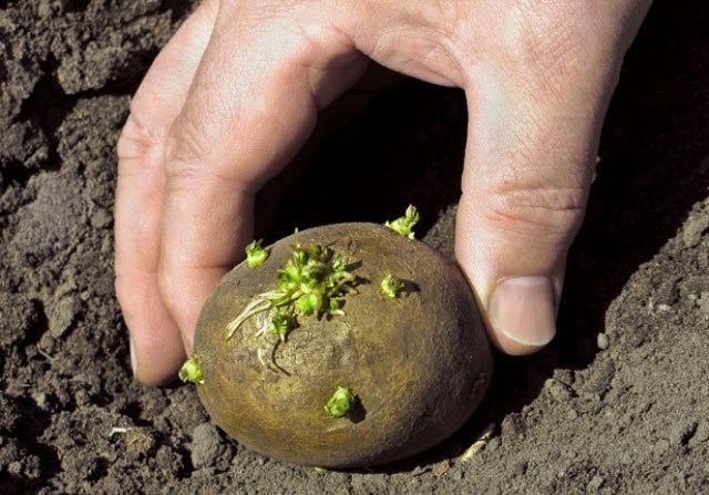 Судя по тому, что вы выкопали раннюю картошку, заново можно посадить именно ее