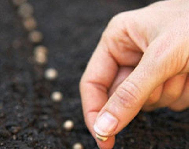 Можно посеять огурцы. Именно посеять, а не высадить рассаду. В теплой земле семена прорастают быстро, а ростки быстро выпускают плеть