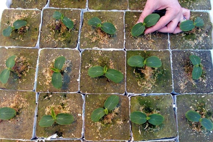 Одним из важных этапов в выращивании арбузов является период всхода бахчевой культуры