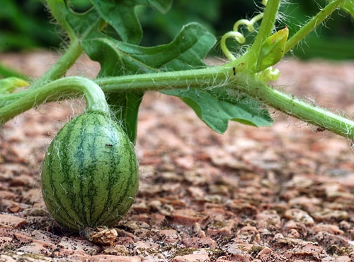 После формирования плодов почву под стеблями укрывают. Это позволяет сохранить не только влажной почву, но и убережет будущие ягоды от желтизны плода в месте соприкосновения его с землей