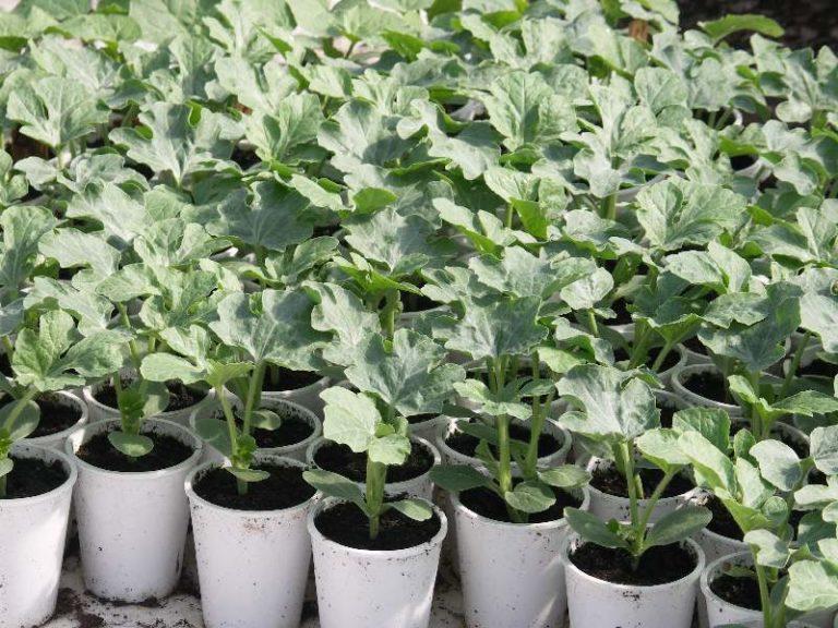Для того чтобы сократить скорость высыхания почвы полив арбузов необходимо осуществлять теплой водой