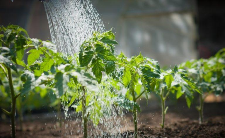 Довольно простой и доступный метод ухода за рассадой помидоров имеет внушительные результаты, но важно учитывать особенности полива растений для каждой стадии созревания: от посева семян до сбора урожая