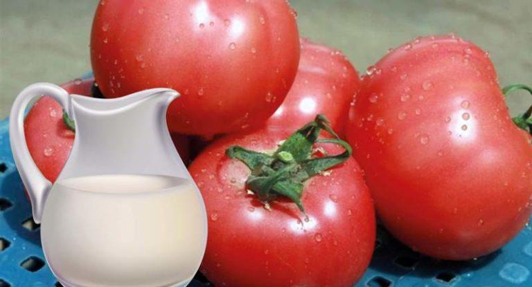 Томаты, выращиваемые в тепличных условиях, требуют особого ухода. Полив и подкормка таких помидоров осуществляется не чаще 1 раза в неделю