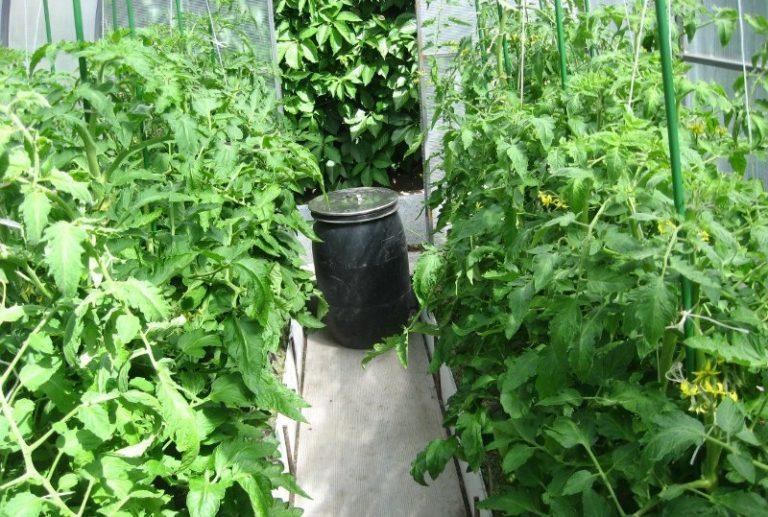 Как часто должна происходить поливка и подкромка помидоров, во многом зависит от способа выращивания, сорта, климатических условий