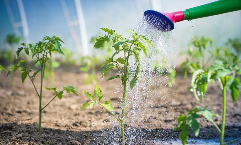 Температура водной среды зависит от стадии развития, применяемой агротехники, сорта томатов и погодных условий