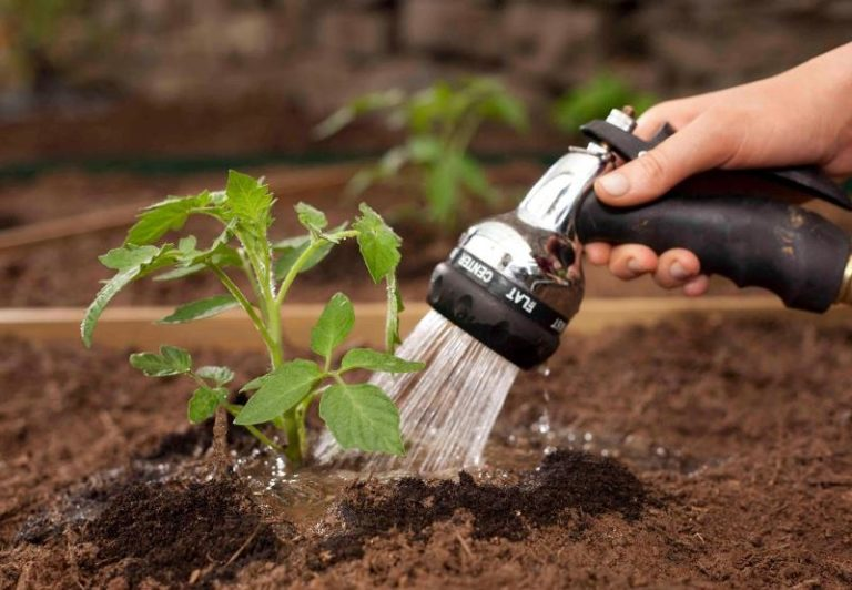 Полив помидоров холодной водой возможен, но полезен на самых ранних стадиях роста