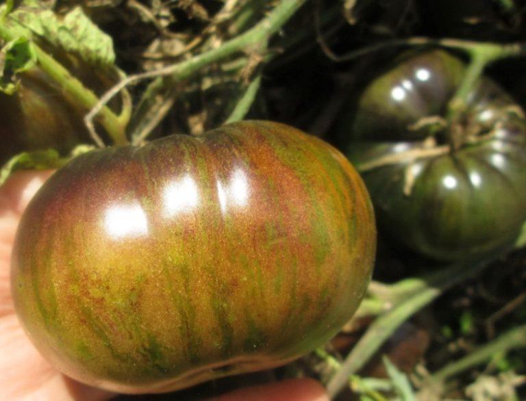 Сорт выведен не так давно, в 2006 году, но он уже популярен среди огородников