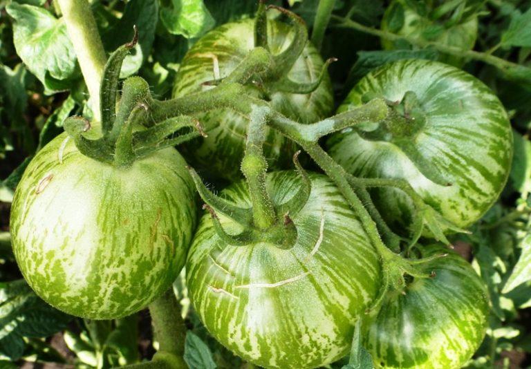 Индетерминантный (высокорослый) помидор способен подняться до 2 м.
