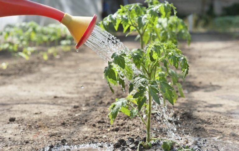 Ухаживая за растениями, нужно учитывать, на какой стадии развития полив следует увеличивать, а на какой уменьшать