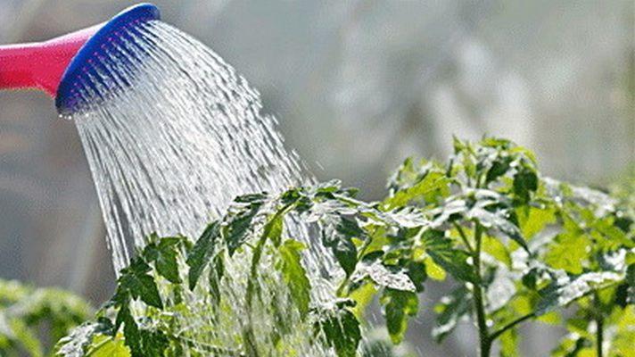 Поливать помидоры в открытом грунте дождеванием не следует — это может привести к осыпанию цветков