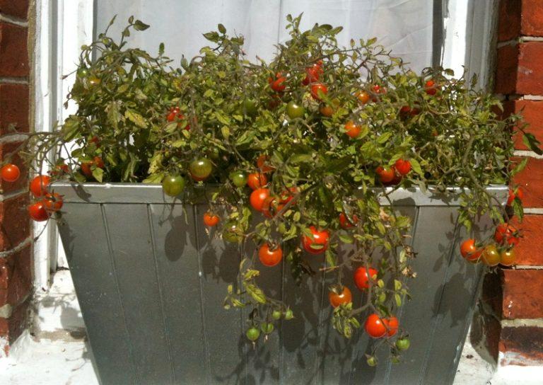 Для успешного выращивания на балконе очень важно подобрать подходящие сорта