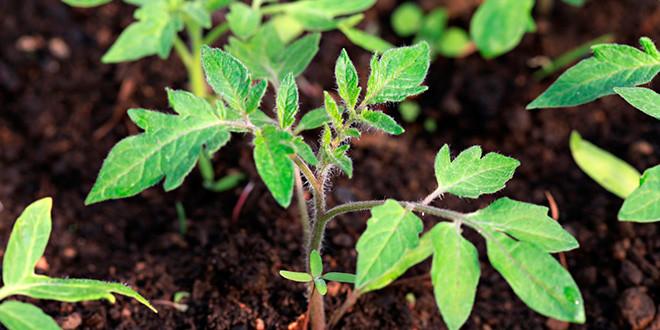 Высаживать окрепшие ростки в отдельные емкости можно на 10 день