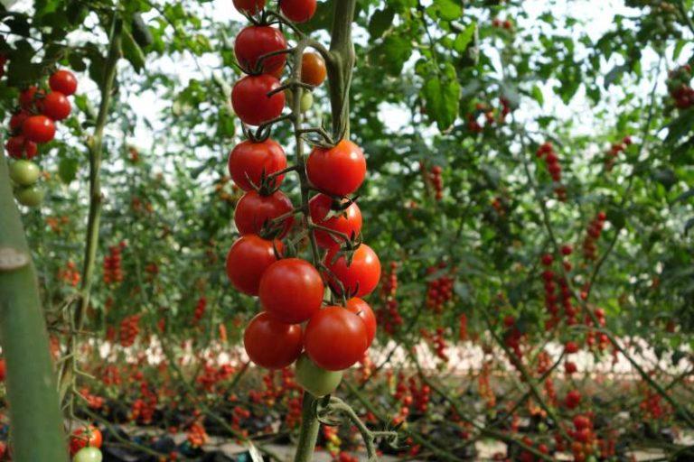 На сегодняшний день учеными-селекционерами были выведены морозо- и влагостойкие сорта этого вида томатов