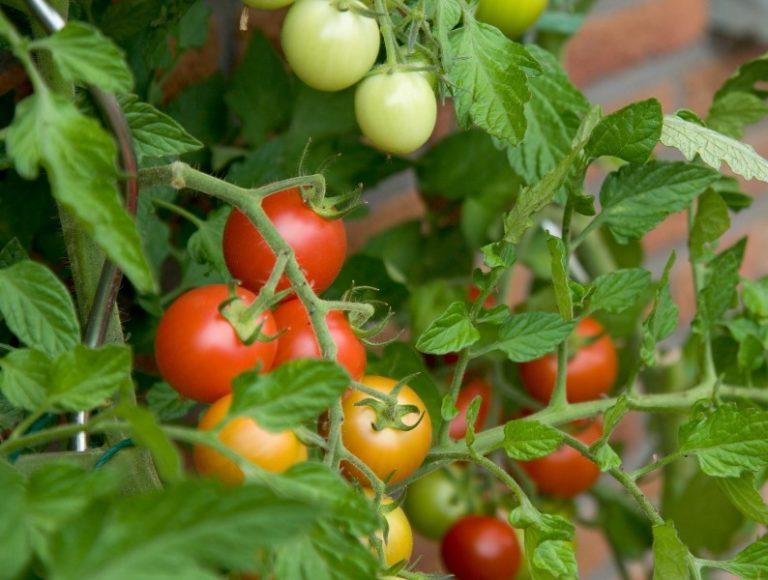 Применяемость и востребованность культурного томата привела к тому, что огородники с момента высаживания семян предпринимают профилактические меры для того, чтобы избежать поражения растений