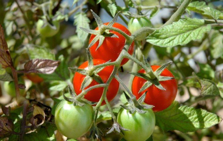 Мелкие листья у помидор - заболевание, которое вызывает озабоченность и заставляет вести настоятельные поиски способов справиться с неприятным поражением, но особых успехов при этом не достигнуто