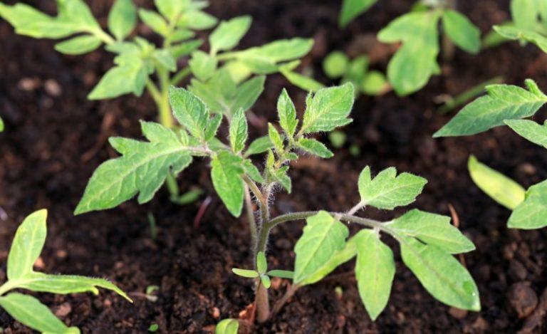 Чтобы дать томатам возможность полноценного развития, созревания плодов и получения полноценного урожая, без возможных потерь и поражений, борьбу следует начинать с самых элементарных мер