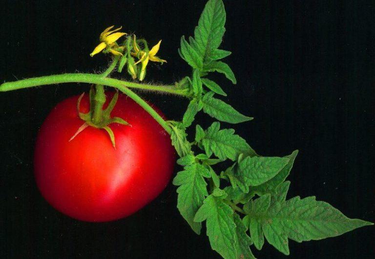 Почему иногда помидоры имеют мелкий лист