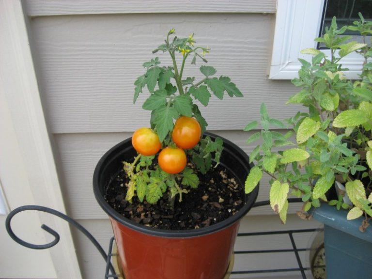 Горшки для посадки помидоров лучше всего наполнить плодородным черноземом, смешанным с торфом в соотношении 3:1
