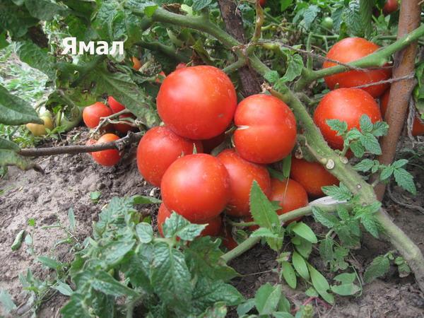 Если необходимо подобрать оптимальный сорт помидоров, которые хорошо приживутся на открытом грунте, то предпочтение стоит отдавать ямал 200