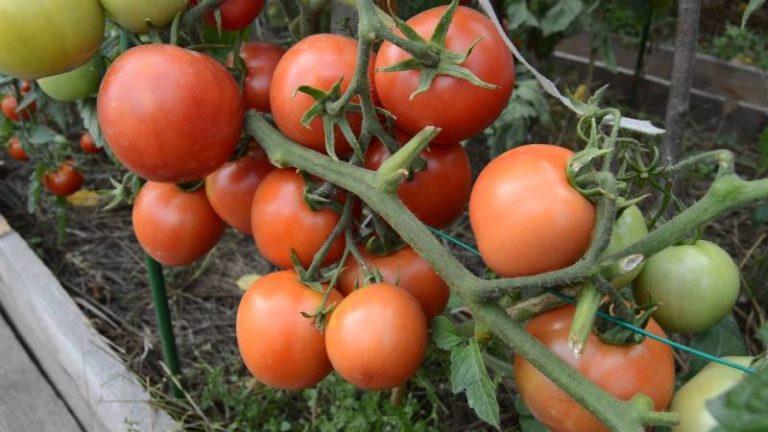 Самые первые плоды отличаются своими крупными габаритами, со временем они примут привычный для помидора облик и размер