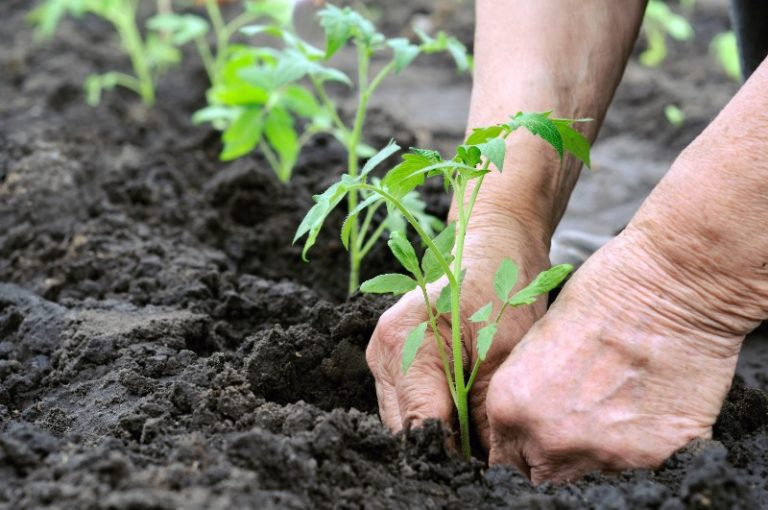 Часто помидоры после пересадки в открытый грунт долго не могут восстановиться, вянут, желтеют либо вообще погибают. Чтобы этого избежать, их нужно правильно пересаживать