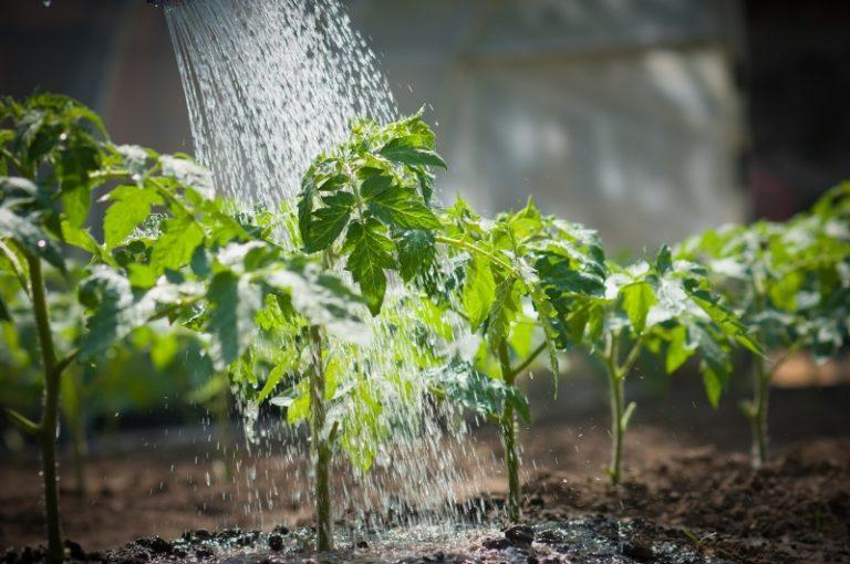 Уход за помидорами включает в себя стабильный полив